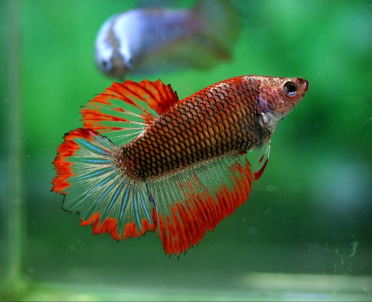 169 best images about bettas on pinterest for Pretty betta fish