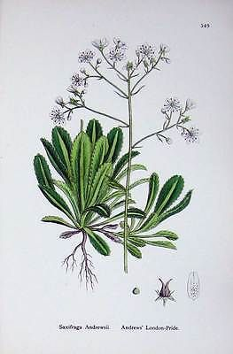 Old antique #print #botany plants c1902 andrews #london pride saxifraga 438e146,  View more on the LINK: http://www.zeppy.io/product/gb/2/351904250606/