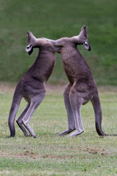 Kangaroos sparring in Austalia's Grampians National Park is just one of many, possible wildlife encounters Down Under.  And, a beautiful, scenic drive! View the photographic slideshow to see unique discoveries that can enhance your travel!  Go to http://www.examiner.com/slideshow/wonders-of-australia