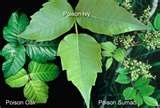 Image detail for -poison sumac rash pictures. The rash usually lasts up to