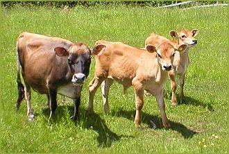 South Side Miniature Cattle - Miniature Jersey Cows,Miniature Jerseys,Miniature Jersey Cattle,Mini Jersey Cattle, Miniature Jersey Dairy Cattle,Miniature Jerseys For Sale,Certified Miniature Jersey Cattle, Miniature Jersey Breeder,NY,New York,Miniature Je