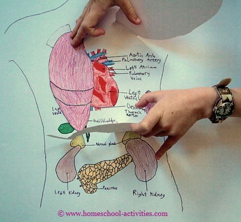 Human body with organs diagram for kids.