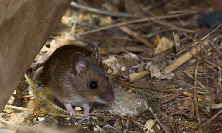 how to clean up rodent droppings