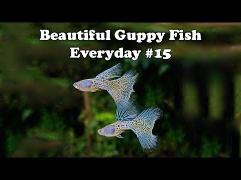 Guppy Channel Beautiful Guppy Fish Everyday 15 Youtube Gupi