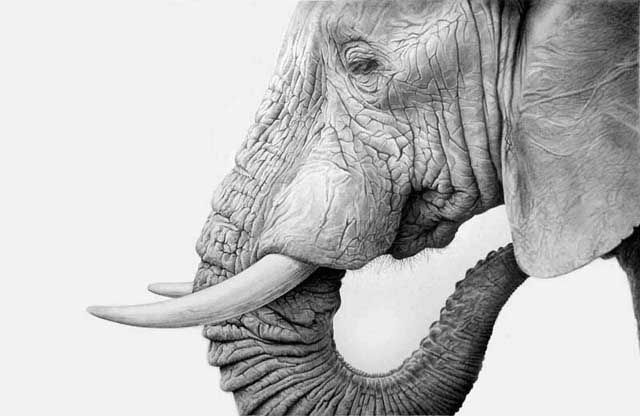 Incredibly life-like (and life size!) drawings/paintings of elephants, tigers, lions and more by artist Richard Symonds