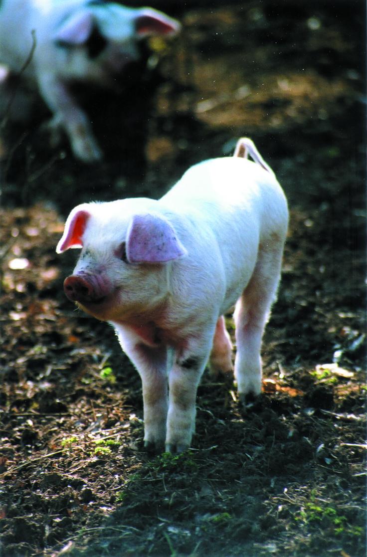 Piglet at Daylesford farm