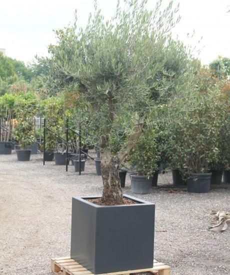 """Kant en klaar inclusief benodigde grondstoffen<p><strong>U betaalt normaal voor deze combinatie (boom + plantenbak + grondstoffen):</strong></p> <p></p> <p>1 stuk Olea europea """"Lessini"""" 40/50 cm stamomtreklaag vertakt € 330,- incl. 6% btw</p> <p>1 stuk Geisoleerde, kleurvaste en UV bestendige polyester plantenbak model """"Sienna"""" 70x70x70cm € 249,- incl. 21% b..."""