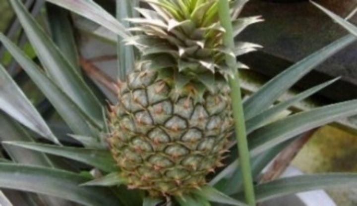 Ananas commosus, ananas a jeho pěstování, hnojení, zálivka, choroby a škůdci, pěstební substrát, množení.