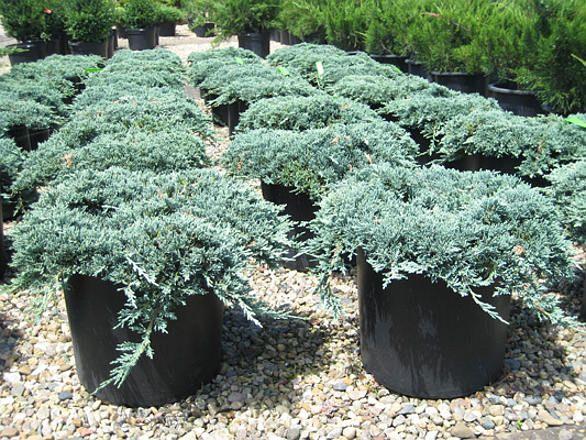 Можжевельник горизонтальный Айс Блю (Juniperus horizontalis Icee Blue),хвойные,можжевельник,кустарники,купить,саженцы,посадка,уход,купить,купить можжевельник в интернет-магазине,можжевельник посадка и уход,садовый центр,можжевельник из отечественных и зар