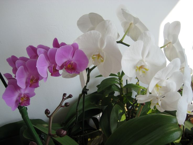 Purple and white phaleno orchids