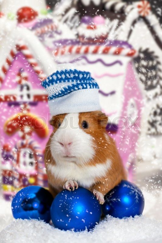 Stock image of 'Guinea pig in winter hat over Christmas background'