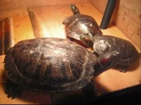 26 Best Turtle Tank Images On Pinterest Turtle Tanks Turtles And Pets