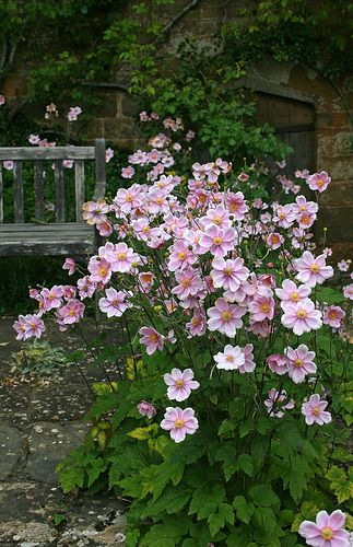 BROUGHTON CASTLE GARDENS pink japanese anemone