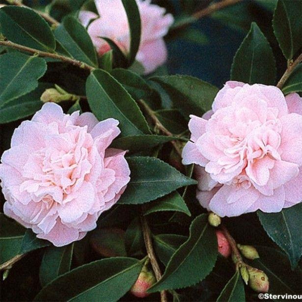 Camellia Sweet Emily Kate - Camélia champêtre - Variété rampante parfumée dotée de petites fleurs doubles, rose très clair.