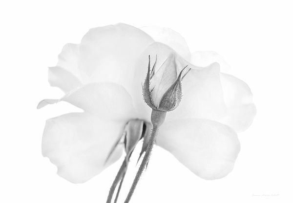 Rose bud flower in soft gray and white. Photography art for your home or office decor.