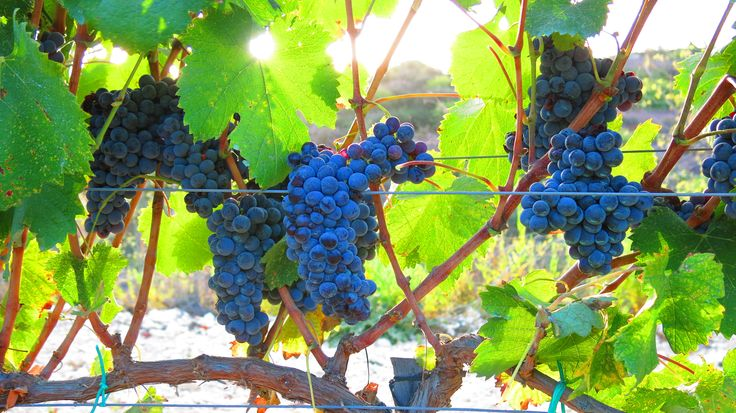Fikardos Winery organic Mataro vineyards in Pano Arodes village