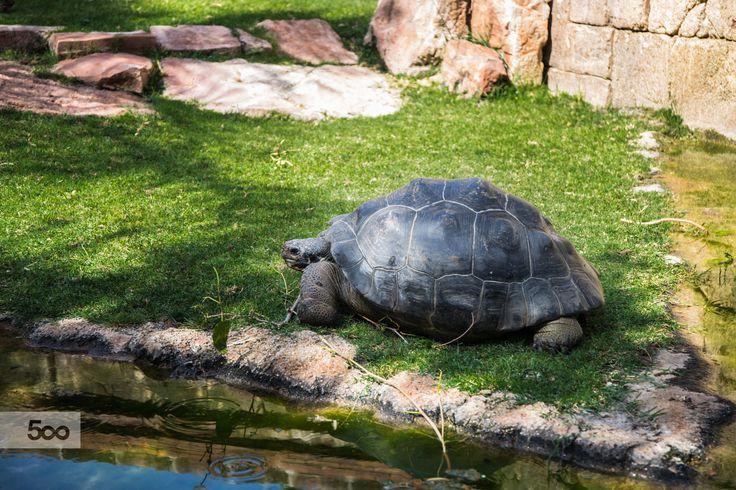 Malaysian giant turtle by Javier Cazorla Arrabal on 500px