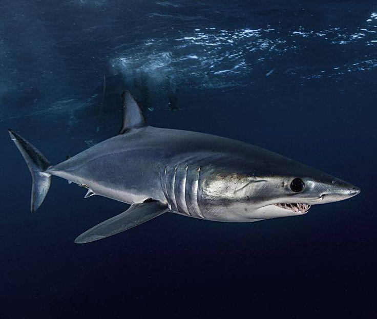Акула-мако – один из самых смертоносных хищников морского мира. Она невероятно быстрая и запросто «разгоняется» до скорости в 110 километров в час, из-за чего её иногда называют «подводным гепардом», умеет выпрыгивать из воды на высоту 6 метров, а ещё эта рыбина почти всегда голодна: быстрый метаболизм заставляет её постоянно охотиться...