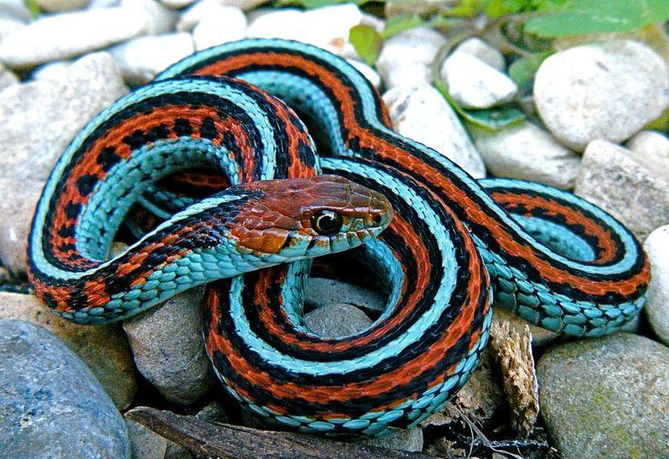 Serpente-de-liga-de-são-francisco