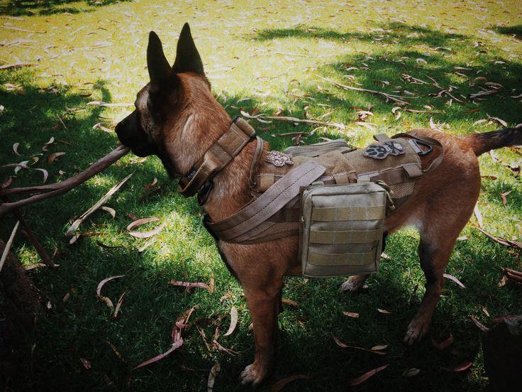"my own k9 ""Nuba"" with her duty harness"