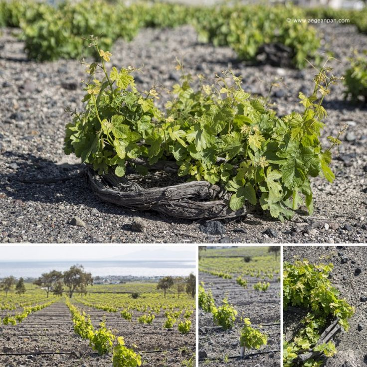 White grape varieties of Assyrtiko, Aidani and Athiri