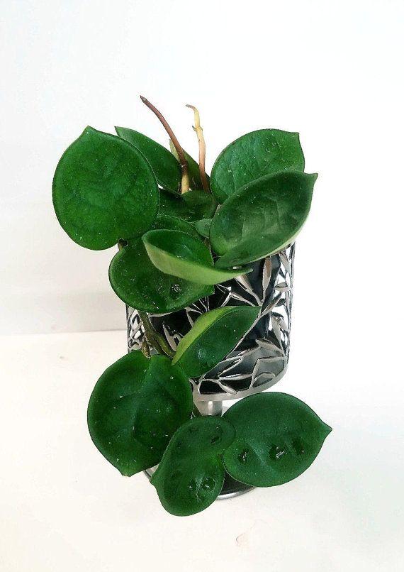 Hoya Carnosa Chelsea Wax Plant This Hoya Has Round Oval Heart