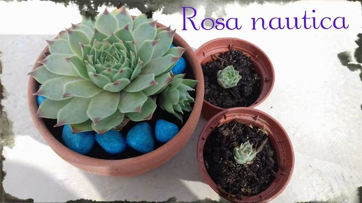Propagación de Rosa Naútica - Sempervivum || Lembranzas ||