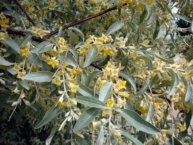 Olivier de Bohême, Elaeagnus angustifolia :au soleil beau feuillage argenté.