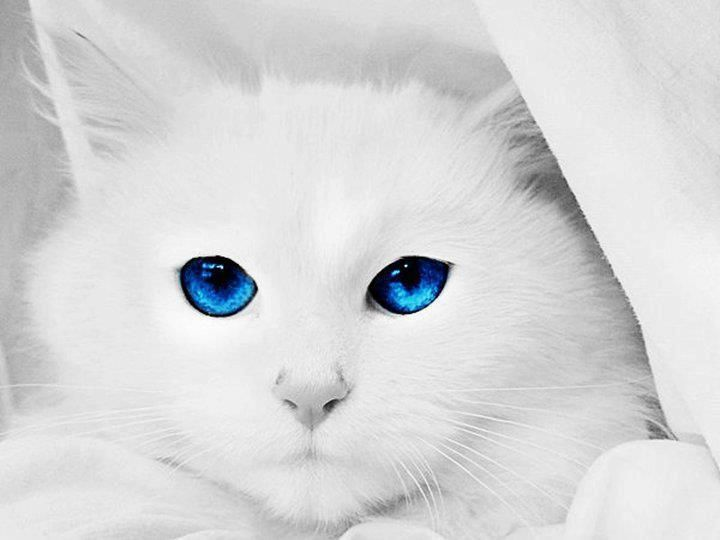 White Cats With Blue Eyes In Snow - 34.9KB