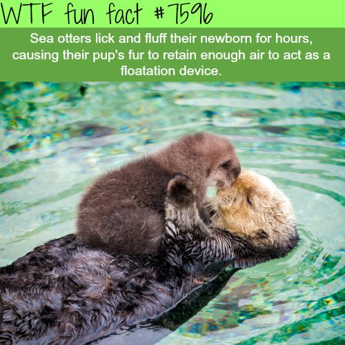 Cute sea otters - WTF fun facts
