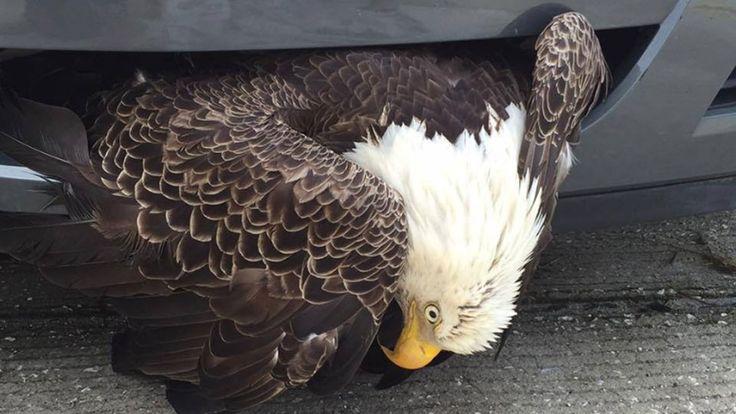 Un águila quedó atrapada en un paragolpes por el huracán Matthew - LA NACION (Argentina)