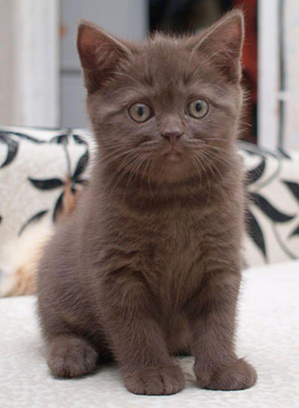 Britisch Kurzhaar Mädchen » Katzen aus Völklingen  ummmmmmmmmmm, nothing. I was doing nothing.