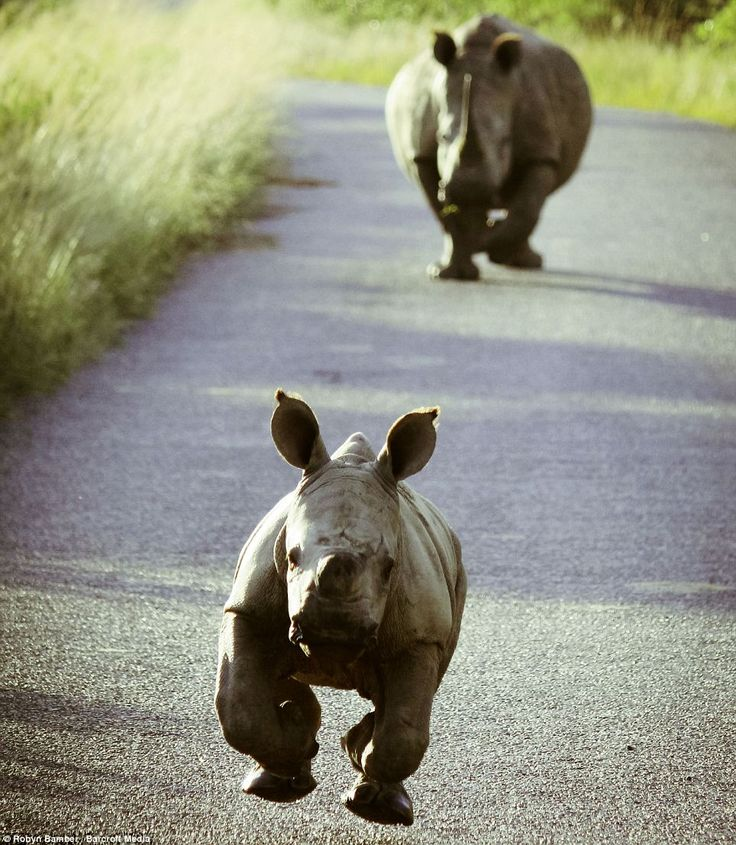 CHAAAAAAAARGE!!!! An adorable rhino calf practises charging at a group of tourists on a safari tour in the bush of South Africa
