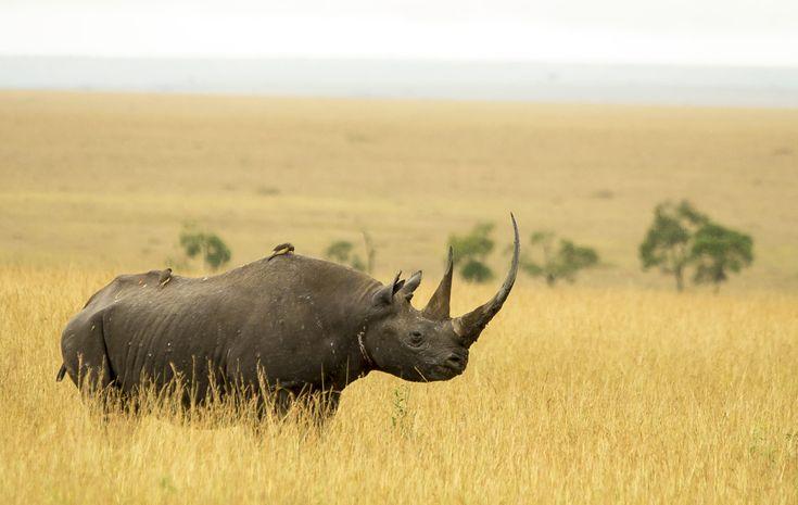 Bowling för noshörningar har samlat in över 50 miljoner kronor | Natursidan