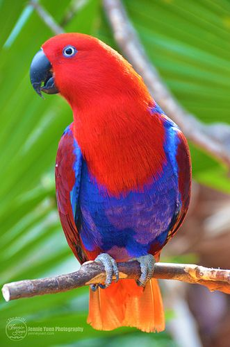 Ruby Eclectus Parrot -- sHe looks like she's wearing overalls!