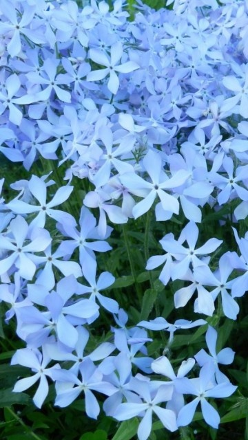 Blue Creeping Phlox.  great for flowing from a tipped pail