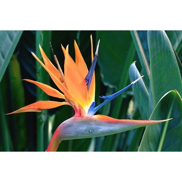 Bird of Paradise Meaning and Symbolism ❤ liked on Polyvore featuring home and kitchen & dining