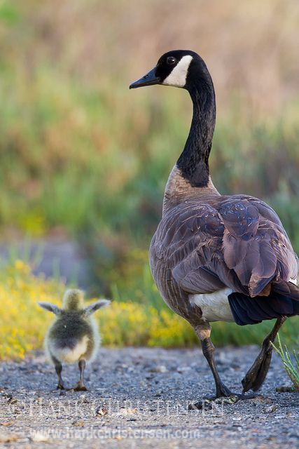 A Canada goose chick stretches its wings as it walks beside its parent