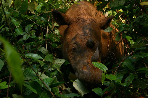 The Sumatran rhinoceros (Dicerorhinus sumatrensis) has a coat of reddish-brown hair, a sort-of tropical version of the extinct woolly rhino. The Sumatran rhino is critically endangered: fewer than 300 are estimated to survive in the jungles of Sumatra, Borneo and the Malay Peninsula