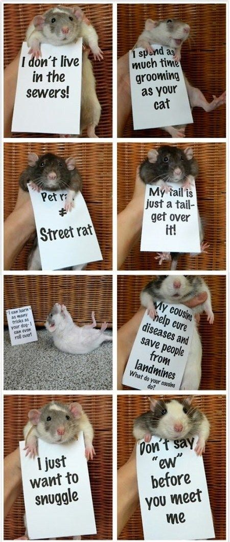 Rats are so misunderstood! They make the most wonderful pets and greet you like you're the best thing in the world <3 Miss my ratties :( <3