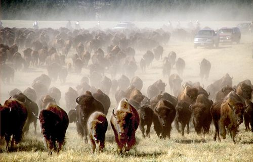 Buffalo roundup at Custer State Park in the Black Hills of SD: Custer State Park, State Parks, Favorite Places, Buffalo Roundup, Annual Buffalo, South Dakota, Roads Trips, U.S. States, Custer States Parks