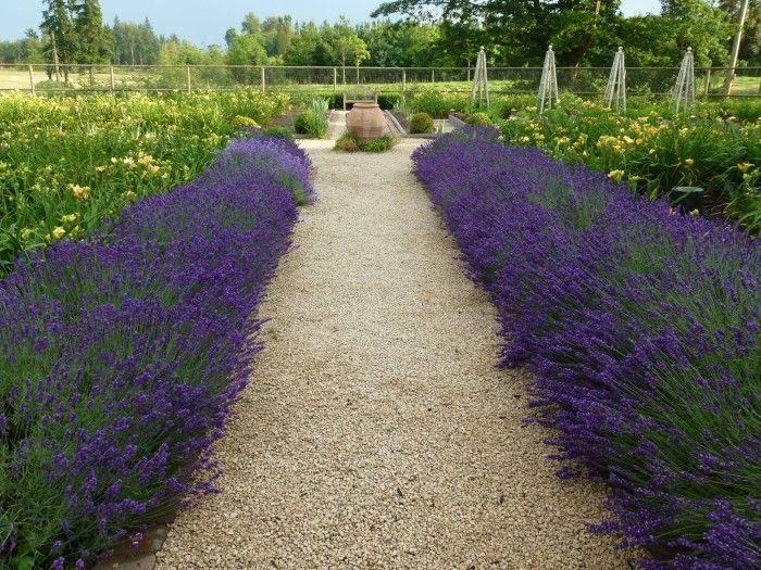 lavender Hidcote Superior