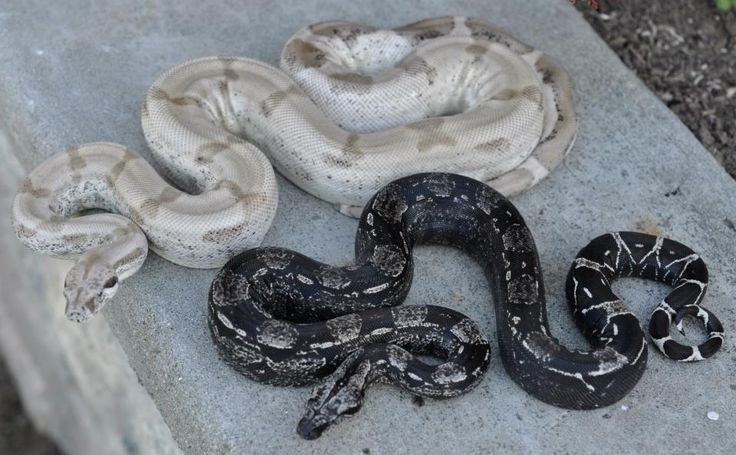 2011 Super Ghost and Anery IMG boas (BCI, boa constrictor imperator), owned and photographed by Chaz Schilens of LowKey Boas.