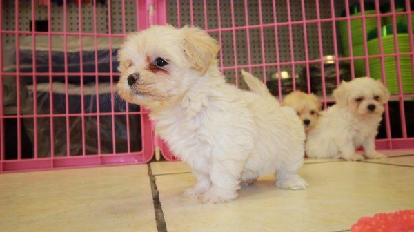 Puppies Cute Cream White Shih Poo Puppies For Sale In Georgia At Shih Poo Puppies For S In 2020 Shih Poo Puppies Shih Tzu Puppy Puppies For Sale