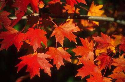 Red Maple - Acer Rubrum... Hardiness Zones: 3 - 9, The red maple tree grows at a moderate to rapid rate. Site requirements: bright sun to partial shade, wide range of soil types: sandy loam to clay. The tree has some air pollution tolerance and it is one of the first trees to show fall color.