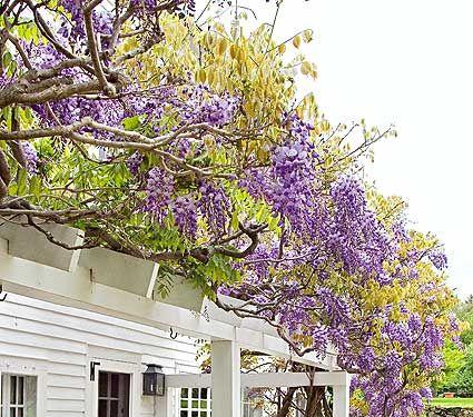 31 best litchfield ct images on pinterest connecticut salems wisteria sinensis cookes purple white flower farm mightylinksfo
