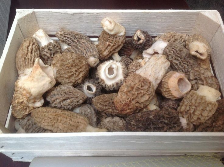 Country Fresh Foods   Fantastic fresh Morrel mushroom in this morning going to two lucky chefs tomorrow!