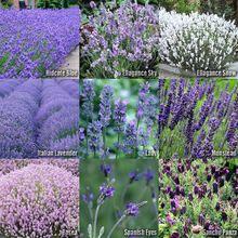 (10 Type) Lavender Flower/Herb SEEDS - Lavandula Mix - Hidcote, Ellagance Sky, Ellagance Snow, Lady, Munstead, Rosea, Spanish Eyes, Sancho Panza, Italian Lavender, Lavender Vera Seeds