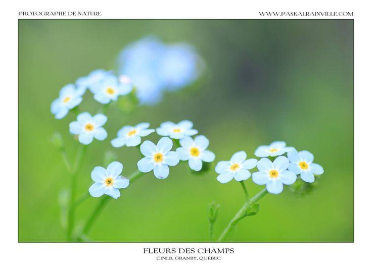 Fleurs des champs Prise à Granby, Québec, Canada http://www.paskalrainville.com/