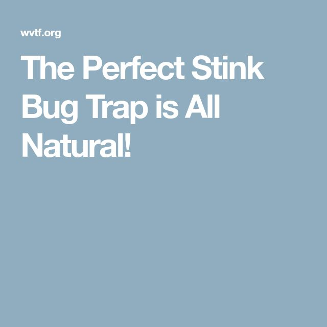 The Perfect Stink Bug Trap is All Natural!
